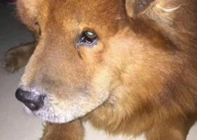 寻狗启示,狗狗叫球球,松狮,棕红色,头圆,耳朵没有竖起来,它是一只非常可爱的宠物狗狗,希望它早日回家,不要变成流浪狗。