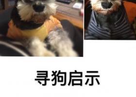寻狗启示,海宁市七岁的雪纳瑞乖乖走失,它是一只非常可爱的宠物狗狗,希望它早日回家,不要变成流浪狗。