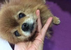 寻狗启示,12月20日捡到肚子上有小鸡蛋大小的肿瘤,它是一只非常可爱的宠物狗狗,希望它早日回家,不要变成流浪狗。