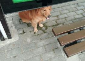 寻狗启示,一条可能性不大的寻狗启示,它是一只非常可爱的宠物狗狗,希望它早日回家,不要变成流浪狗。