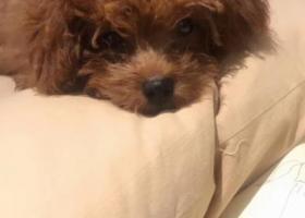 本人于12.19号在深圳福田新洲花园丢失一只泰迪犬,棕色。如有人帮忙找到,酬金一千元,非常感谢。