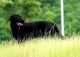 寻狗启示,盐城-东台省道304北酬谢三千元寻找黑色拉布拉多,它是一只非常可爱的宠物狗狗,希望它早日回家,不要变成流浪狗。