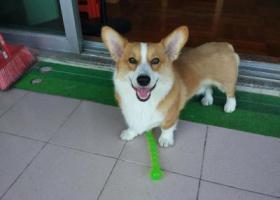 寻狗启示,佛山北滘顺德碧桂园花园区旁三桂大道钱大妈菜市附近走失公柯基,它是一只非常可爱的宠物狗狗,希望它早日回家,不要变成流浪狗。