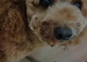 寻找泰迪淡黄色小狗狗一只