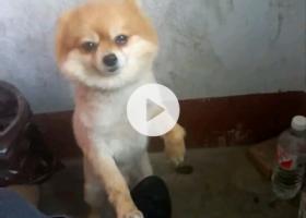 寻狗启示,寻狗启示,2017年12月17号晚上在彩虹桥附近丢失一条黄色博美犬,它是一只非常可爱的宠物狗狗,希望它早日回家,不要变成流浪狗。