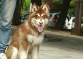 寻狗启示,#青岛寻狗# 12-18丢失,红色 十字 阿拉斯加(女友天天泪洗面),它是一只非常可爱的宠物狗狗,希望它早日回家,不要变成流浪狗。