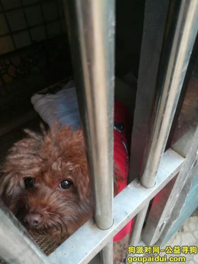 株洲捡到狗,天元区和平路欣佳花园对面捡到穿红衣服公的小泰迪一只,它是一只非常可爱的宠物狗狗,希望它早日回家,不要变成流浪狗。
