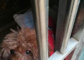 寻狗启示,天元区和平路欣佳花园对面捡到穿红衣服公的小泰迪一只,它是一只非常可爱的宠物狗狗,希望它早日回家,不要变成流浪狗。