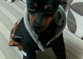 寻狗启示,急寻一只丢失的迷你杜宾,它叫小帅,它是一只非常可爱的宠物狗狗,希望它早日回家,不要变成流浪狗。