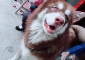 寻狗启示,寻找爱犬,阿拉斯加,请大家帮帮忙,它是一只非常可爱的宠物狗狗,希望它早日回家,不要变成流浪狗。
