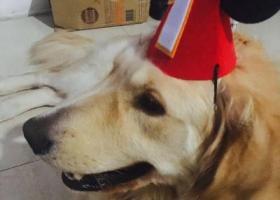 寻狗启示,金毛狗狗养了好几年了,12月22日不小心在龙湾四甲走丢了,它是一只非常可爱的宠物狗狗,希望它早日回家,不要变成流浪狗。