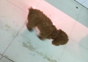 寻狗启示,五华县华城镇五华中学附近走丢一条泰迪,它是一只非常可爱的宠物狗狗,希望它早日回家,不要变成流浪狗。