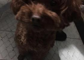 寻狗启示,w温州上下桥附近捡到的!,它是一只非常可爱的宠物狗狗,希望它早日回家,不要变成流浪狗。