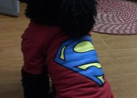 寻狗启示,2017年12月26日在红江路红江小区附近走失一只黑色贵宾犬,它是一只非常可爱的宠物狗狗,希望它早日回家,不要变成流浪狗。