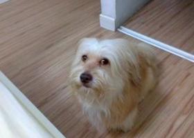 寻狗启示,找在福州铜盘软件大道走失的公狗,它是一只非常可爱的宠物狗狗,希望它早日回家,不要变成流浪狗。