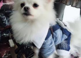 寻狗启示,寻狗启示,白色小博美,它是一只非常可爱的宠物狗狗,希望它早日回家,不要变成流浪狗。