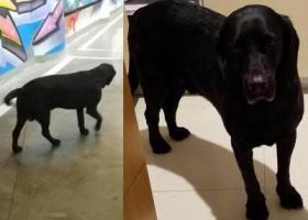 寻狗启示,盐城东台火车站酬谢三千元寻找黑色拉布拉多,它是一只非常可爱的宠物狗狗,希望它早日回家,不要变成流浪狗。
