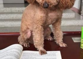 寻狗启示,4岁半黄泰迪,丢失于轻纺城,它是一只非常可爱的宠物狗狗,希望它早日回家,不要变成流浪狗。