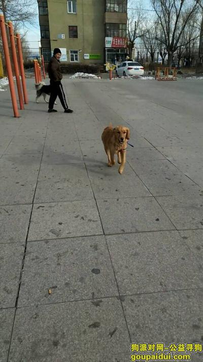 绥化找狗,安达市磷肥平房丢失6个多月小金毛,它是一只非常可爱的宠物狗狗,希望它早日回家,不要变成流浪狗。