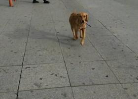 寻狗启示,安达市磷肥平房丢失6个多月小金毛,它是一只非常可爱的宠物狗狗,希望它早日回家,不要变成流浪狗。
