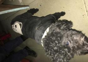 寻狗启示,黑色泰迪寻主,公狗,身穿黑色卫衣,它是一只非常可爱的宠物狗狗,希望它早日回家,不要变成流浪狗。