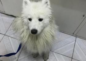 寻狗启示,市二院院内捡到一只白色萨摩,它是一只非常可爱的宠物狗狗,希望它早日回家,不要变成流浪狗。