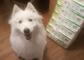 寻狗启示,无锡市国信世家寻狗启示,它是一只非常可爱的宠物狗狗,希望它早日回家,不要变成流浪狗。