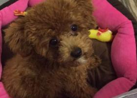 寻狗启示,福州寻狗,急切想找到我家孩子,棕色泰迪公,下巴有一处白色毛,走丢时穿粉红色蝴蝶结衣服,它是一只非常可爱的宠物狗狗,希望它早日回家,不要变成流浪狗。