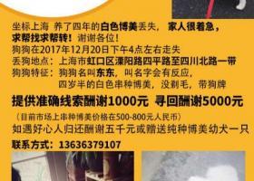 上海虹口区溧阳路四平路酬谢五千元寻找博美犬