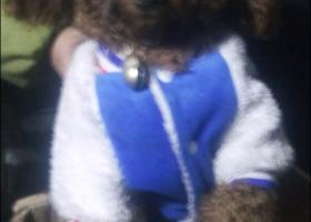 寻狗启示,我家的泰迪狗在家门口被两个人抓走,它是一只非常可爱的宠物狗狗,希望它早日回家,不要变成流浪狗。