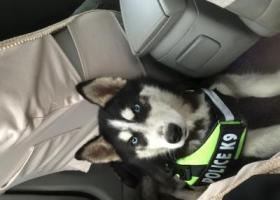 寻狗启示,重金2000元!⚠️寻找爱狗哈士奇,它是一只非常可爱的宠物狗狗,希望它早日回家,不要变成流浪狗。