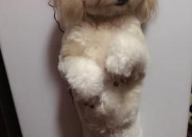 寻狗启示,寻找爱犬串儿狗,它是一只非常可爱的宠物狗狗,希望它早日回家,不要变成流浪狗。