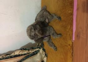 寻狗启示,寻爱犬巧克力棕色泰迪狗狗,它是一只非常可爱的宠物狗狗,希望它早日回家,不要变成流浪狗。