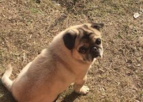 寻狗启示,宁波市镇海区茗园一区寻找12岁巴哥犬,它是一只非常可爱的宠物狗狗,希望它早日回家,不要变成流浪狗。