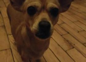 寻狗启示,在哈尔滨学府路捡到一条狗,它是一只非常可爱的宠物狗狗,希望它早日回家,不要变成流浪狗。