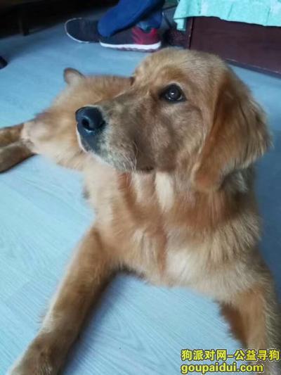 本溪找狗,10个月大母金毛在卧龙赵家沟于2017.12.10丢失。,它是一只非常可爱的宠物狗狗,希望它早日回家,不要变成流浪狗。
