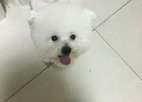 寻狗启示,青岛寻狗两岁的比熊 比较调皮,它是一只非常可爱的宠物狗狗,希望它早日回家,不要变成流浪狗。