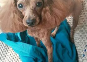寻狗启示,寻狗启示。(棕色小泰迪),它是一只非常可爱的宠物狗狗,希望它早日回家,不要变成流浪狗。