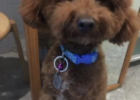 寻狗启示,厦门市思明区曾厝垵寻找棕色泰迪,它是一只非常可爱的宠物狗狗,希望它早日回家,不要变成流浪狗。