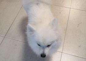 痛失爱狗,求爱狗人士帮助,2018年1月1号一条银狐白色公狗走失,丢失在金寨路明珠广场附近。