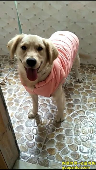 ,奶白色小金毛,12月30日晚走失,重金寻狗,它是一只非常可爱的宠物狗狗,希望它早日回家,不要变成流浪狗。
