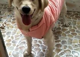 寻狗启示,奶白色小金毛,12月30日晚走失,重金寻狗,它是一只非常可爱的宠物狗狗,希望它早日回家,不要变成流浪狗。