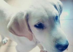 寻狗启示,在解放东路捡到一只的拉布拉多,它是一只非常可爱的宠物狗狗,希望它早日回家,不要变成流浪狗。