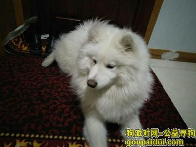 ,寻狗启示白色萨摩耶母狗,它是一只非常可爱的宠物狗狗,希望它早日回家,不要变成流浪狗。