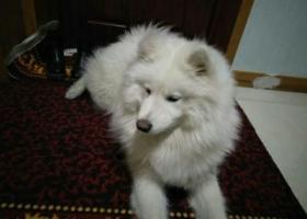 寻狗启示,寻狗启示白色萨摩耶母狗,它是一只非常可爱的宠物狗狗,希望它早日回家,不要变成流浪狗。