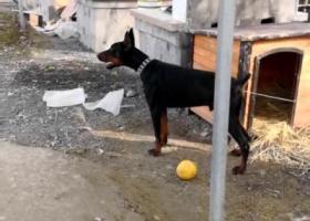 寻狗启示,嘉兴2岁黑色公杜宾,在嘉湖公路濮院路段走失,它是一只非常可爱的宠物狗狗,希望它早日回家,不要变成流浪狗。