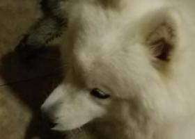 寻狗启示,黄杨路捡到一只萨摩耶,它是一只非常可爱的宠物狗狗,希望它早日回家,不要变成流浪狗。