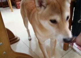 寻狗启示,寻狗启示 帮忙找回我家锅贴 感谢金1000元,它是一只非常可爱的宠物狗狗,希望它早日回家,不要变成流浪狗。