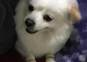 寻狗启示,寻狗启示:变蛋,悬赏3000元,它是一只非常可爱的宠物狗狗,希望它早日回家,不要变成流浪狗。