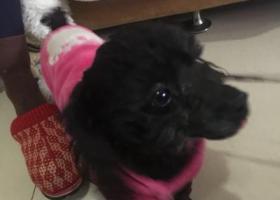 寻狗启示,谁家的小宝贝走丢了!在龙泉驿十陵镇附近!黑色泰迪一只!寻主人!,它是一只非常可爱的宠物狗狗,希望它早日回家,不要变成流浪狗。